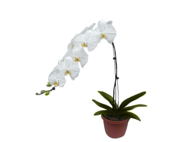 Bonsaiboy White Orchid Select White Phalaenopsis.