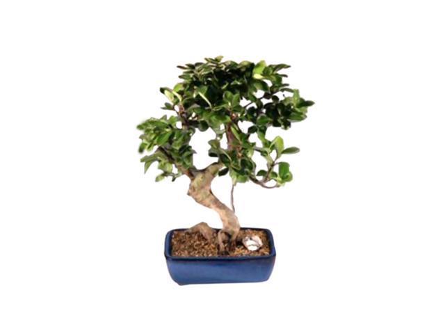 Ficus Retusa Golden Coin Bonsai Tree . Curved Trunk - Large (ficus retusa)