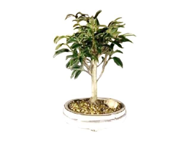 Bonsaiboy Ficus Midnight Bonsai Tree- Medium (benjamina 'midnight')