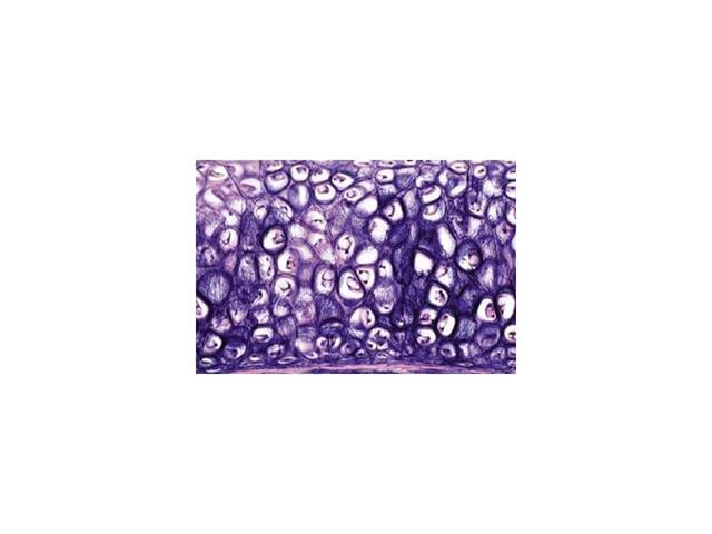 Tissues - English Microscope Slides/ Set of 15