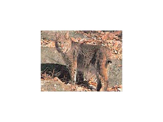 Delta Sports Products #116 Bobcat Target
