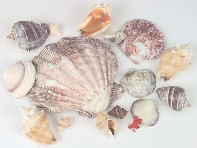 Sea Shells In Lion's Paw Shell 11.2oz-Natural