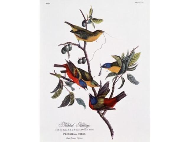 Audubon (PA) United States  City pictures : Painted Bunting, John James Audubon 1785 1851 American Poster Print ...