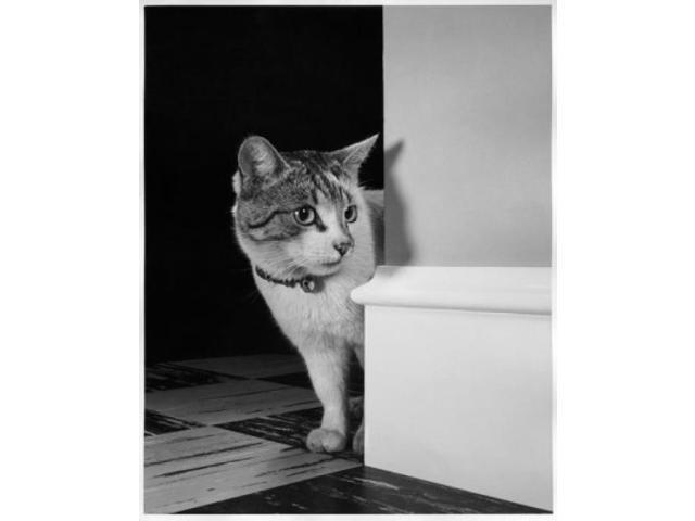 Cat peeking around a corner Poster Print (18 x 24 ...