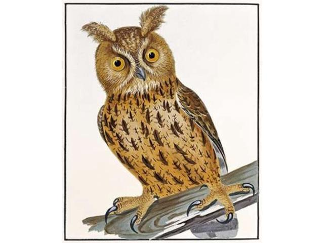 Owl Poster Print by  William Lewin  (10 x 12)
