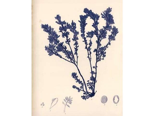 Blue Botanical Study III Poster Print by Kimberly Poloson (22 x 28)
