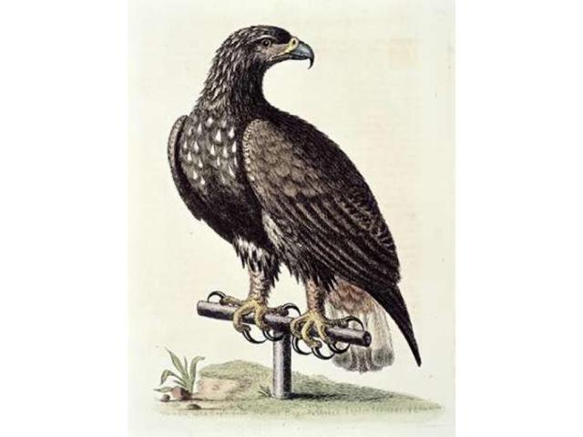 White-Tailed Eagle From Hudsons Bay Poster Print by George Edwards (18 x 24)