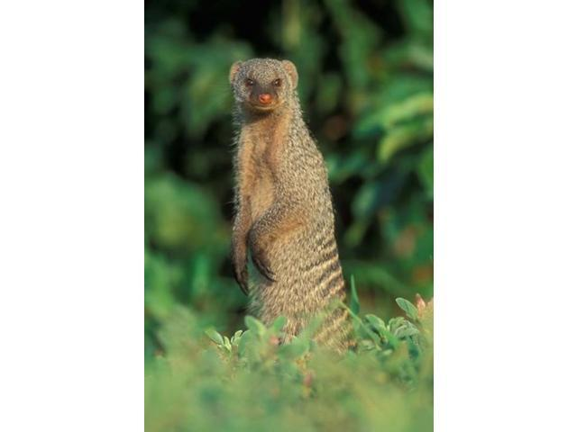 Botswana, Chobe NP, Banded Mongoose river bank Poster Print by Paul Souders (24 x 36)