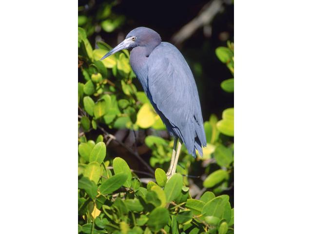 Little Blue Heron Poster Print (11 x 17)