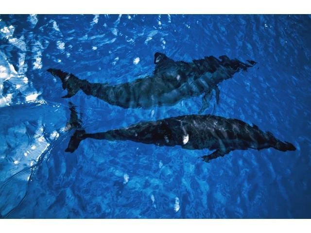 Two Spinner Dolphins In Ocean Poster Print (19 x 12)