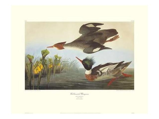 Red-Breasted Merganser (decorative border) Poster Print by John James Audubon (24 x 30)