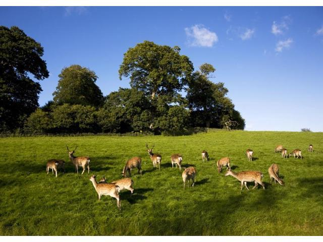 Fallow Deer in the Demesne Doneraile Court County Cork Ireland Poster Print (18 x 13)