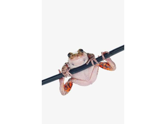 Fire-leg walking frog on white backgroundSt albert alberta canada Poster Print (12 x 19)