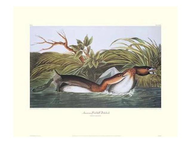 American Pied-Bill Dobchick (decorative border) Poster Print by  John James Audubon  (8 x 10)