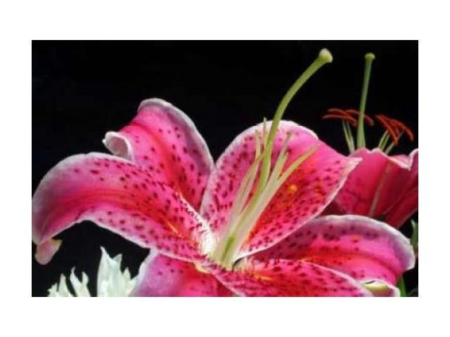 Pink Lily Poster Print by Tammy Putman (24 x 36)