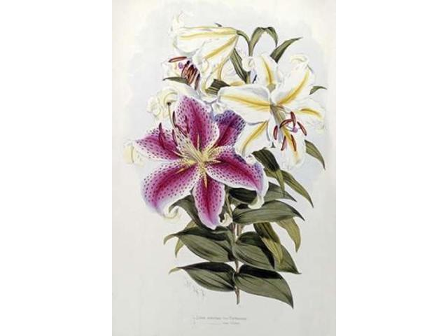 A Monograph of The Genus Lilium Poster Print by  Henry John Elwes  (12 x 18)