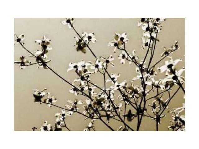 Dogwood IV Poster Print by Alan Hausenflock (12 x 18)