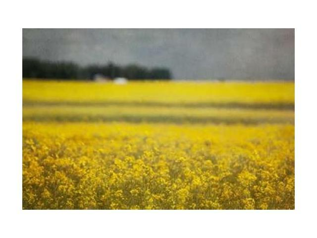 Canola Blossoms Poster Print by Roberta Murray (12 x 18)