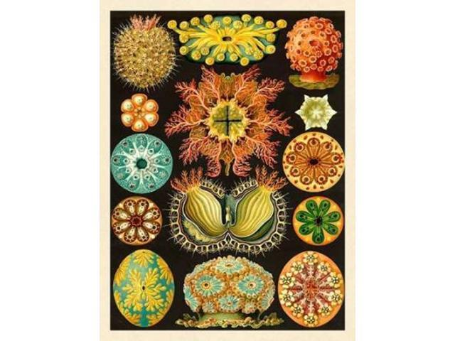 Haeckel Nature Illustrations: Ascidiae Poster Print by Ernst Haeckel (18 x 24)