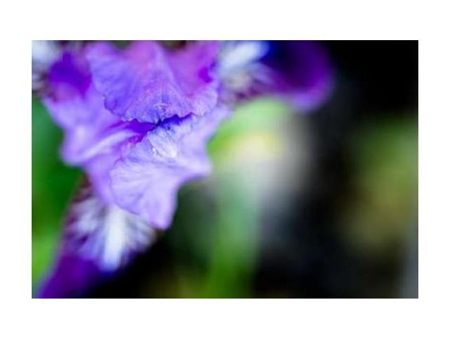 Purple Iris I Poster Print by Beth Wold (24 x 36)