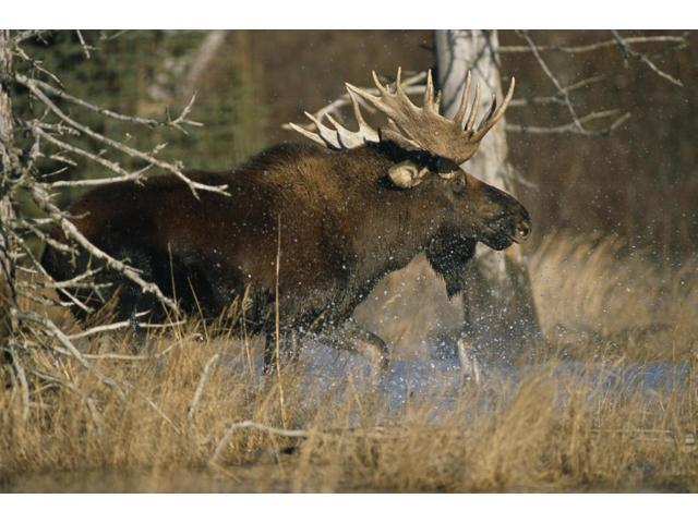Bull Moose Runs Through Water Spashling Captive Ak Sc Autumn Poster Print (17 x 11)