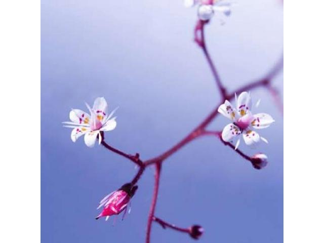 Cherry Flower 3 Poster Print by  PhotoINC Studio (24 x 24)
