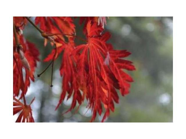 Red Leaves Poster Print by Brian Moore (24 x 36)