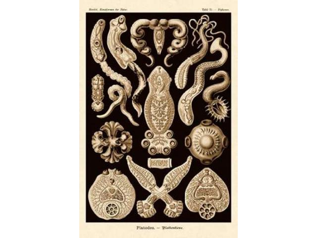 Haeckel Nature Illustrations: Flatworms - Sepia Tint Poster Print by  Ernst Haeckel  (12 x 18)