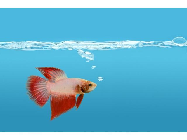 Fighting Fish Under Water Poster Print (17 x 11)