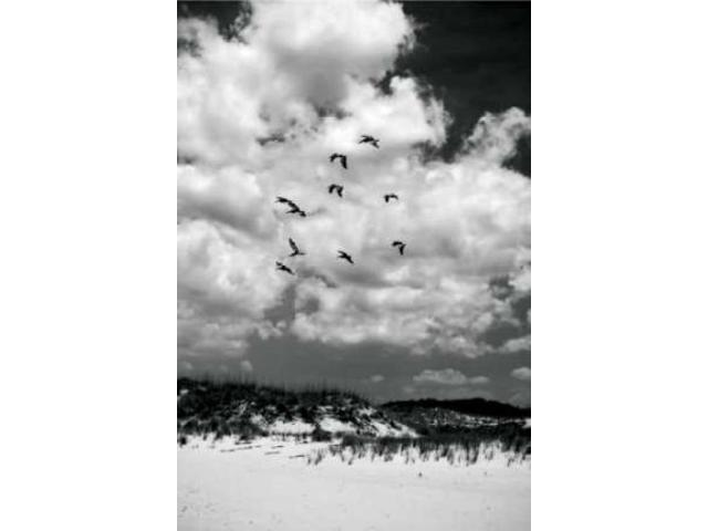 Pelicans over Dunes V Poster Print by Alan Hausenflock (10 x 14)