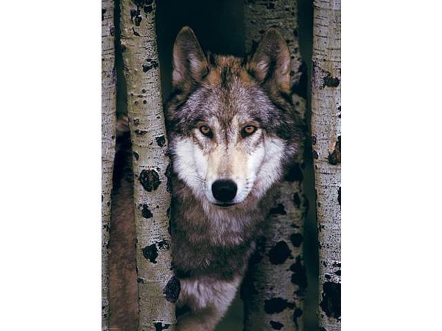 Gray Wolf Puzzle