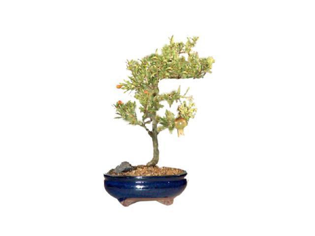 Bonsaiboy Flowering Dwarf Pomegranate - Medium (Punica Granatum)
