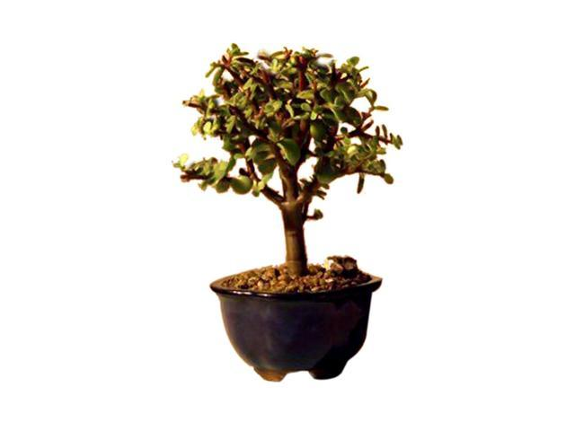 Bonsaiboy Baby Jade Bonsai Tree - Small (Portulacaria Afra)