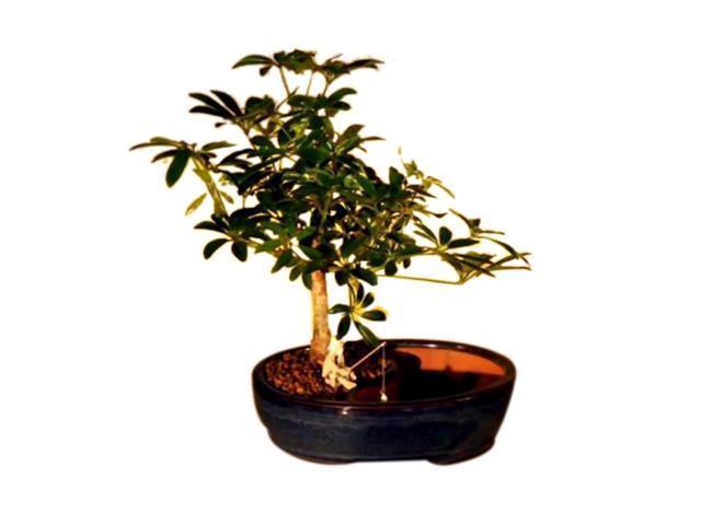 Bonsaiboy Hawaiian Umbrella Bonsai Tree/Water/Land Container - Medium (luseanne)