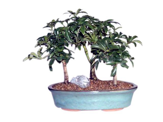 Hawaiian Umbrella Bonsai Tree 3 Tree Forest Group (Arboricola Schefflera)
