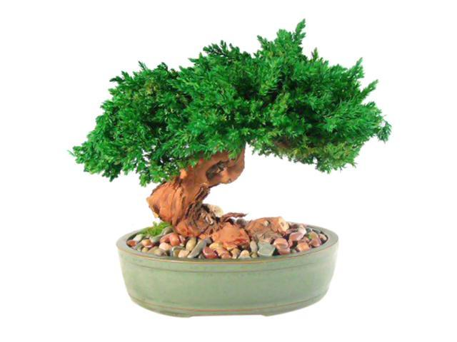 Monterey - Single Trunk-Preserved Bonsai Tree (Preserved - Not a living tree)