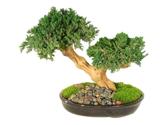 Monterey - Double Trunk-Preserved Bonsai Tree (Preserved - Not a living tree)