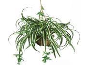 Spider Hanging Basket Silk Plant 9SIAD245DY1526