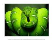 Green Emerald Tree Python Snake Poster Print (10 x 8)