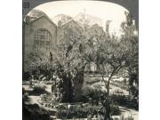 Garden Of Gethsemane Nthe Garden Of Gethsemane (Viewed From North) And New Church East Jerusalem Stereograph C1920 Poster Print by  (18 x 24)