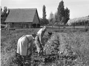 Oregon Farming 1939 Nfarm Couple Digging Up Their Sweet Potatoes During The Harvest In Irrigon Morrow County Oregon Photograph By Dorothea Lange October 1939 Po 9SIA1S75RM2382