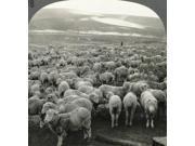 Australia Sheep C1910 NSheep On The Range Queensland Australia Stereograph C1910 Poster Print by  (18 x 24)