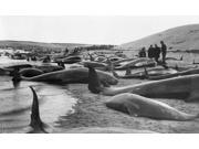 Cape Cod Whaling C1885 Ncarcasses Of Caught Pilot Whales On The Beach At Cape Cod Massachusetts Photographed C1885 Poster Print by  (18 x 24) 9SIA1S75RH9961