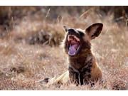 Namibia, Harnas Wildlife, African wild dog wildlife Poster Print by Jaynes Gallery (34 x 23) 9SIA1S73PJ6506