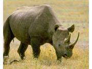 Rhinoceros Sports Photo (10 x 8) 9SIA1S73PA9555