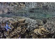 Fragile corals grow in shallow water in Komodo National Park Poster Print (17 x 11)