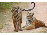Pair of Royal Bengal Tigers, Ranthambhor National Park, India Print by Jagdeep Rajput (36 x 24)