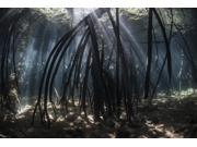 Bright beams of sunlight filter among the prop roots of a mangrove forest Poster Print (34 x 22)