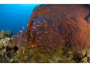 A red sea fan with purple anthias fish, Papua New Guinea Poster Print (34 x 23)