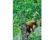 Black bear, aspen tree, Waterton Lakes NP, Alberta Poster Print by Chuck Haney (19 x 26)